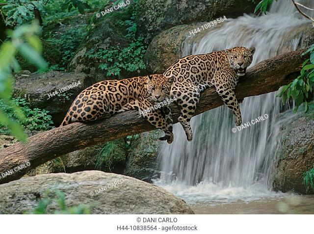 Jaguar, Panthera Onca, Central America, South America, two cats, waterfall