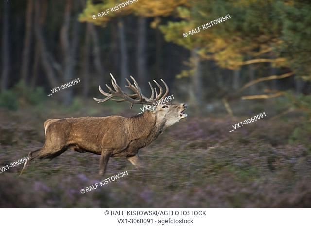 Panning image of a roaring Stag / Red deer (Cervus elaphus) running through violett blossoming heather, Germany, Europe