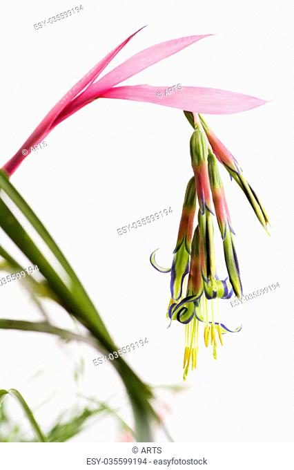 Colorful queen's tears flower in front of white background in vertical composition
