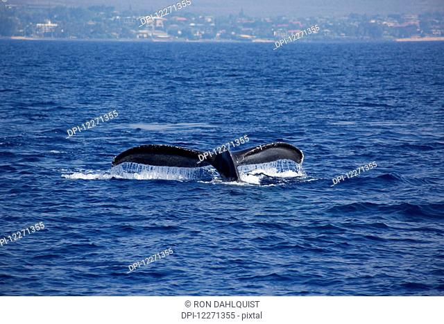 Humpback whale (Megaptera novaeangliae) tail in the waters off of the island of Maui; Maui, Hawaii, United States of America