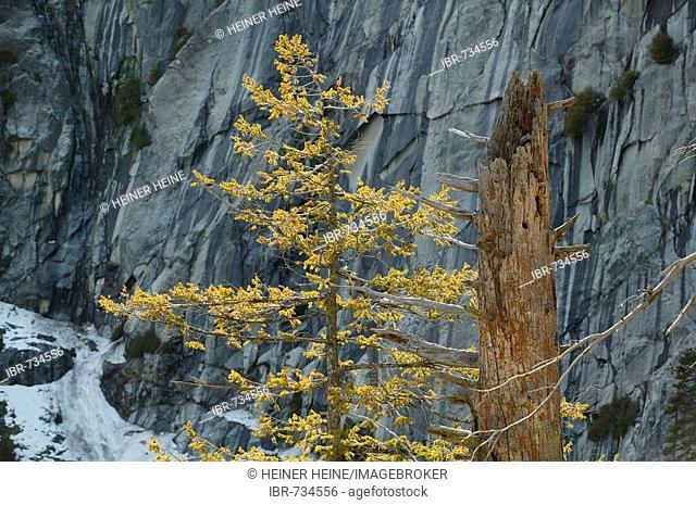 Giant Sequoias (Sequoiadendron giganteum) in wintertime, Yosemite National Park, California, USA, North America