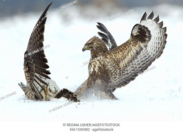 Common Buzzard Buteo buteo, two fighting over food in winter