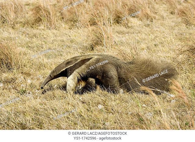 Giant Anteater, myrmecophaga tridactyla, Adult walking through Pampa, Los Lianos in Venezuela
