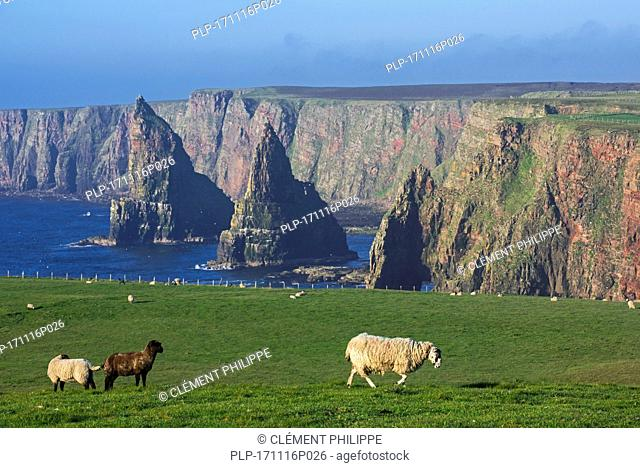 Duncansby Stacks, rock pinnacles south of Duncansby Head near John o' Groats, Caithness, Highland, Scottish Highlands, Scotland, UK