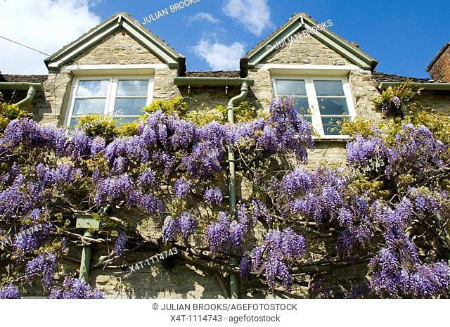 Wisteria on a cottage in the Cotswolds