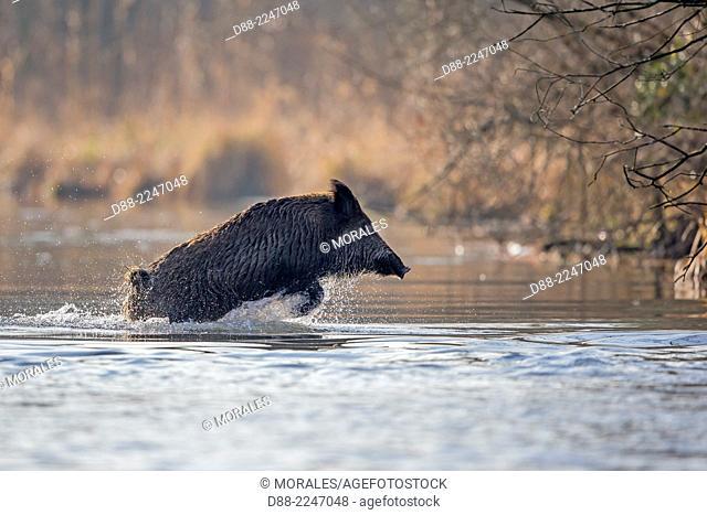 France,Alsace,Rhine forest,Wild Boar (Sus scrofa),swim across an arm of water