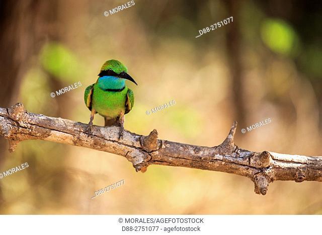 Sri Lanka, Yala national patk, Little green bee-eater (Merops orientalis)