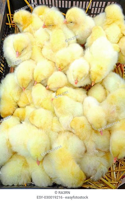 Yellow baby chickens in a black box