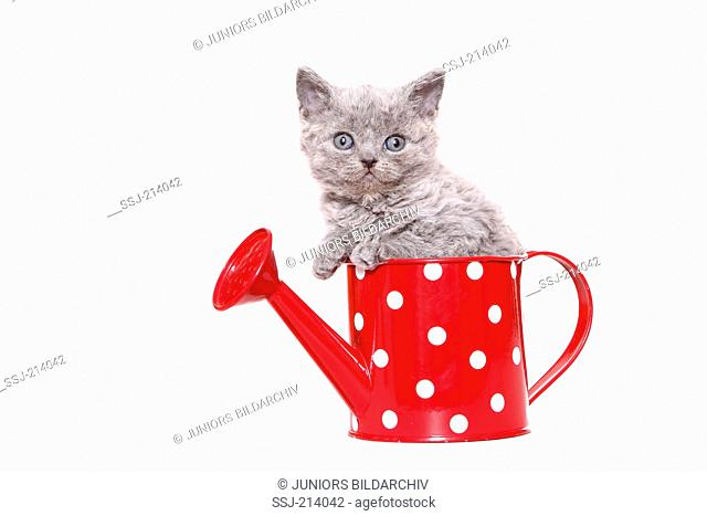 Selkirk Rex. Kitten (7 weeks old) in a small red watering can with white polka dots. Studio picture against a white background. Germany