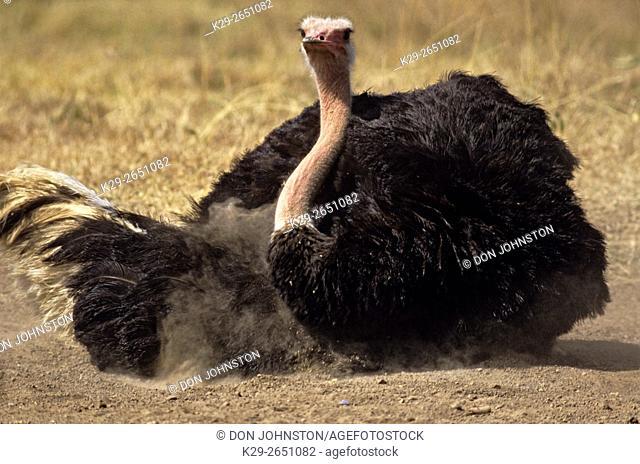 Ostrich (Struthio camelus) taking a dust bath, Nairobi National Park, , Kenya