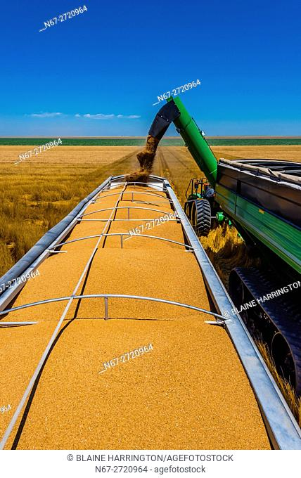 Grain being unloaded from a grain wagon to a grain trailer during the wheat harvest, Schields & Sons, Goodland, Kansas USA