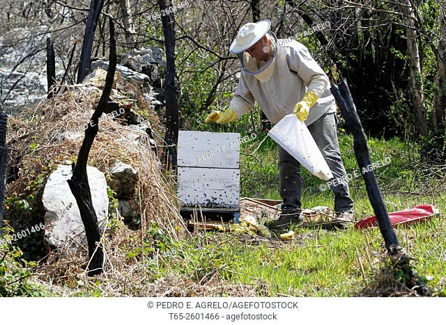 A beekeeper takes care of his bees and their honey collected in the mountains of Lugo, Galicia, Spain