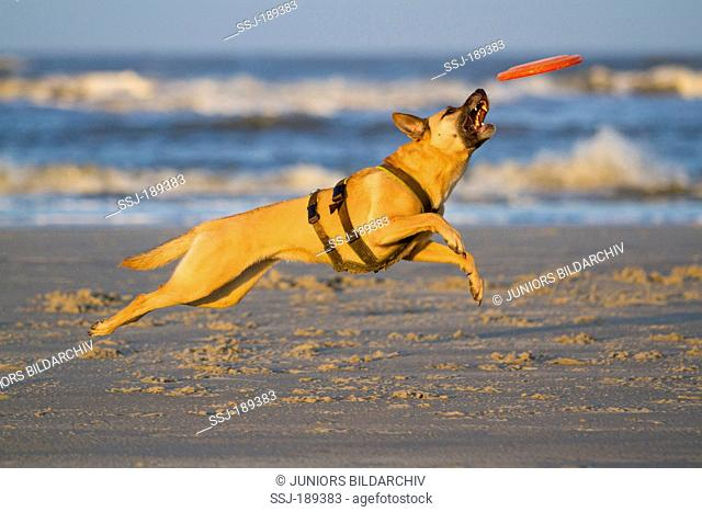 Mixed-breed dog (Malinois x ?). Adult dog playing with a flying disc on a beach. Germany
