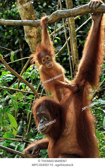 Sumatran Orangutan (Pongo abelii) mother with young, Gunung Leuser National Park, northern Sumatra, Indonesia