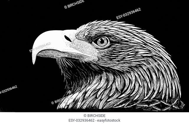 Golden Eagle - Aquila chrysaetos - scratchboard
