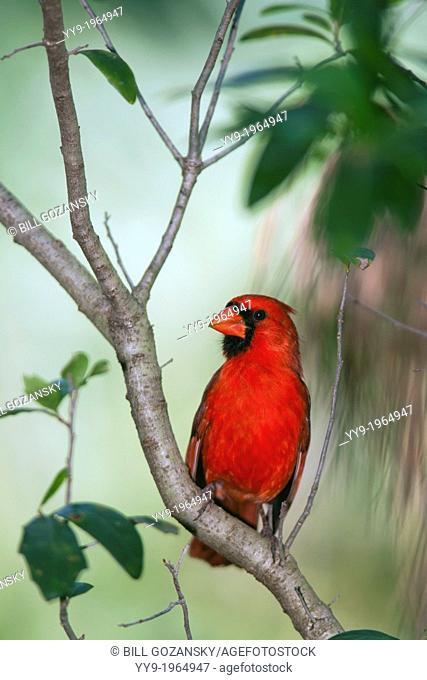 Male Northern Cardinal - Green Cay Wetlands - Boynton Beach, Florida USA