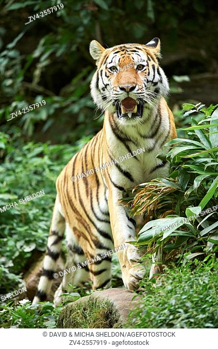 Close-up of a Siberian tiger (Panthera tigris altaica) in late summer