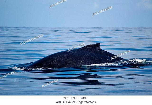 Humpback whale, Maui, Hawaii, United States of America