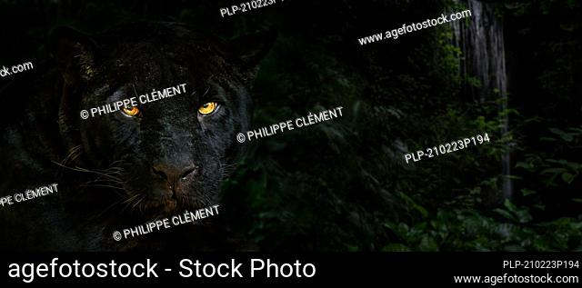 Close up portrait of melanistic jaguar / black panther (Panthera onca) at night in the jungle, black color morph, native to Central and South America