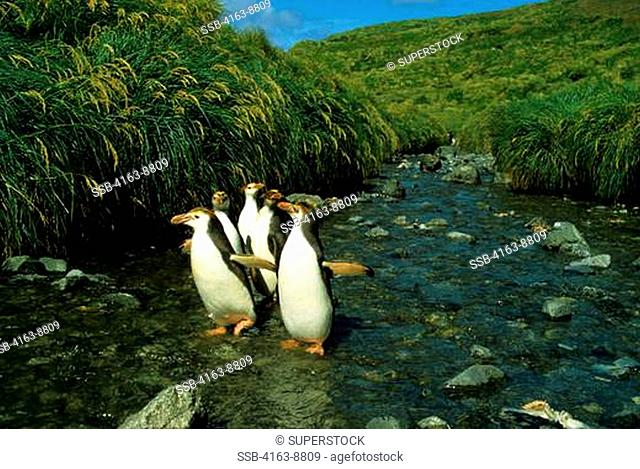 SUB-ANTARCTICA, MACQUARIE ISLAND, ROYAL PENGUINS WALKING UP STREAM, WITH TUSSOCK GRASS