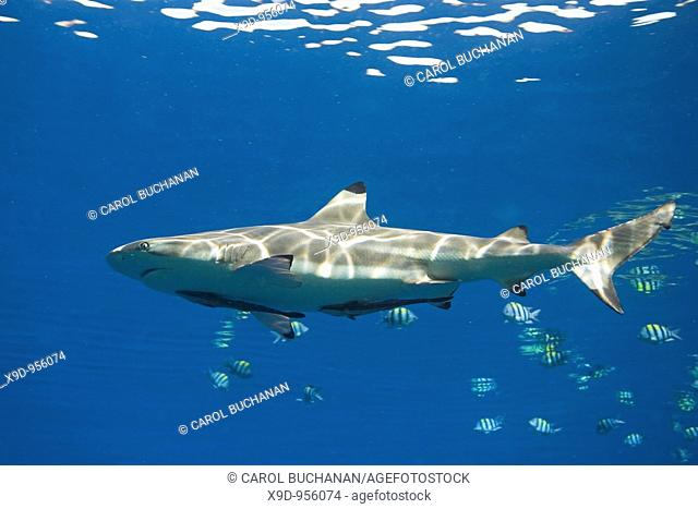 a blacktip reef shark with two remora or suckerfish attached to its belly