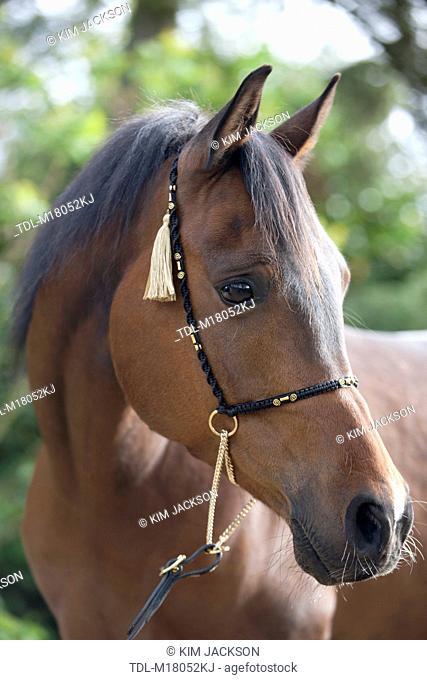 A portrait of a dark bay Polish Arabian horse looking away
