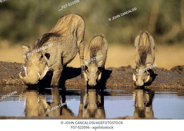 Common Warthogs (Phacochoerus africanus). Lives in open and arid areas in central and southern Africa. In spite of great tolerance of heat and drought they...
