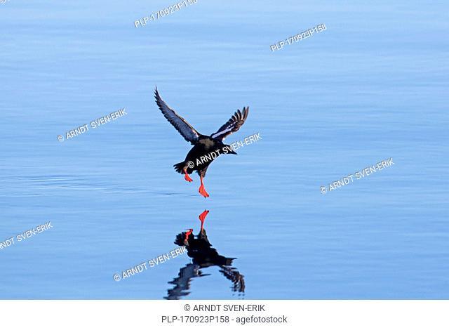 Black guillemot / tystie (Cepphus grylle) in breeding plumage landing in sea water with spread wings
