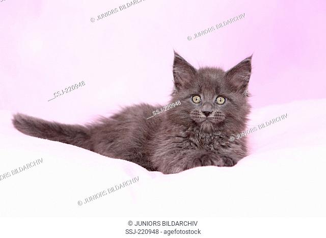 American Longhair, Maine Coon. Blue kitten (8 weeks old) lying on a pink blanket. Germany. Studio picture seen against a pink background