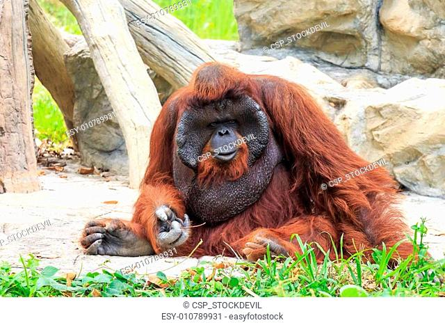 Bornean orangutan(Pongo pygmaeus) in Thailand ( Found it at Born