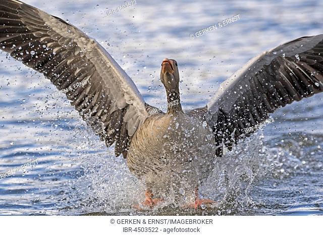 Gray goose (Anser anser) landing in water, Hamburg, Germany