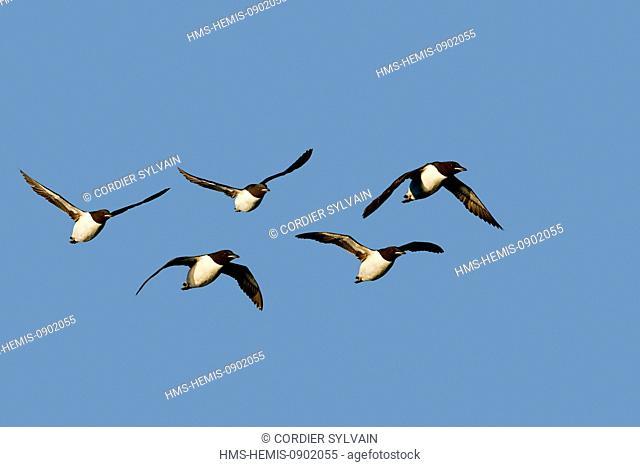 Norway, Svalbard, Spitsbergern, Thick billed Murre or Brunnich's Guillemot (Uria lomvia)