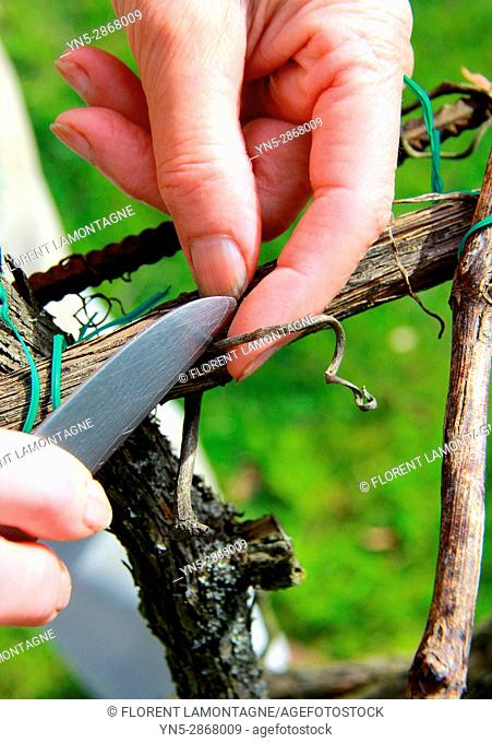 Method of cut with knife on grappe tree for removal of tendril