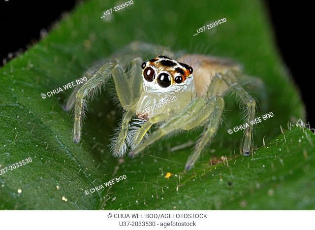 Jumping spider, female Telamonia sp . Image taken at Kampung Skudup, Sarawak, Malaysia