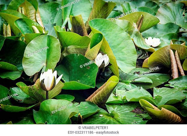 Flowering water lily. Natural theme. Seasonal scene