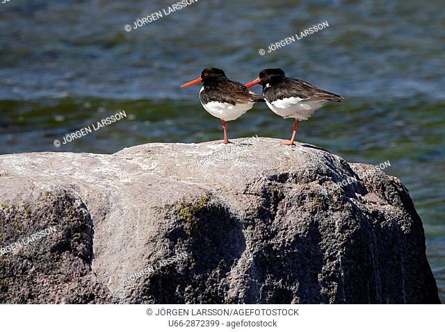 Oystercatcher Gotland Sweden