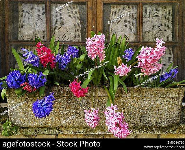 Hyacinths. Window with crochet curtain with peacocks