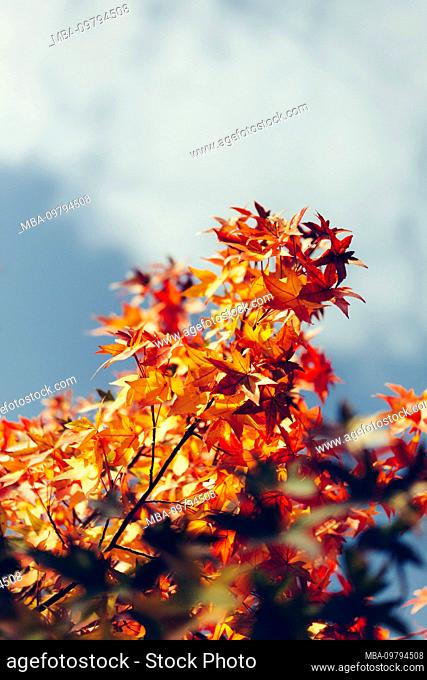 Red fan maple in autumn, close-up, Acer japonicum