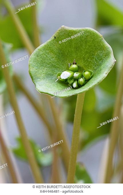 Winter Purslane salad crop, Montia perfoliata, growing under cover in Winter, Wales