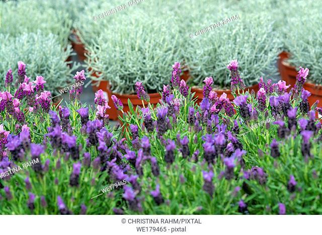 Lavender purple flowers closeup Lavendula officinalis. Spring garden series, Mallorca, Spain