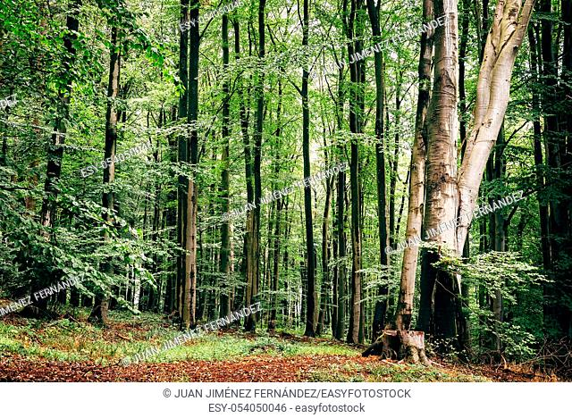 European beech, fagus sylvatica, woodland in Rugen Island. Germany