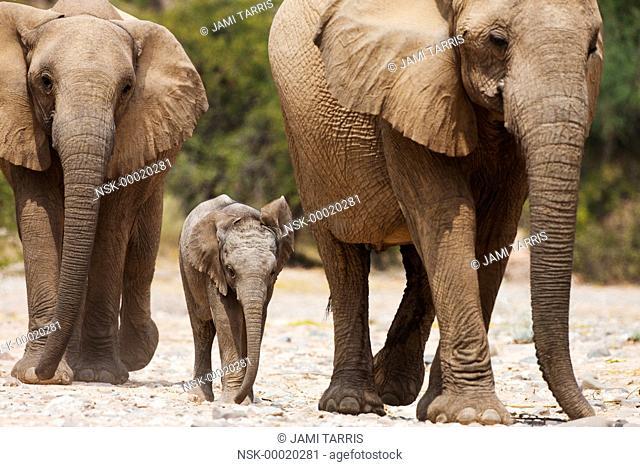 A desert-adapted African Bush Elephant (Loxodonta africana) breeding herd with small calf walking, Namibia, Kaokoland, Skeleton Coast