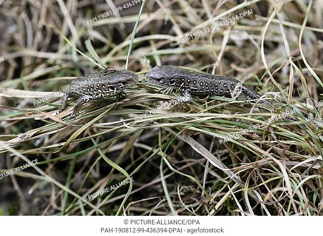 09 August 2019, Schleswig-Holstein, Kiel: Two young sand lizards sit in the grass. The Schleswig-Holstein Foundation for Nature Conservation is currently...