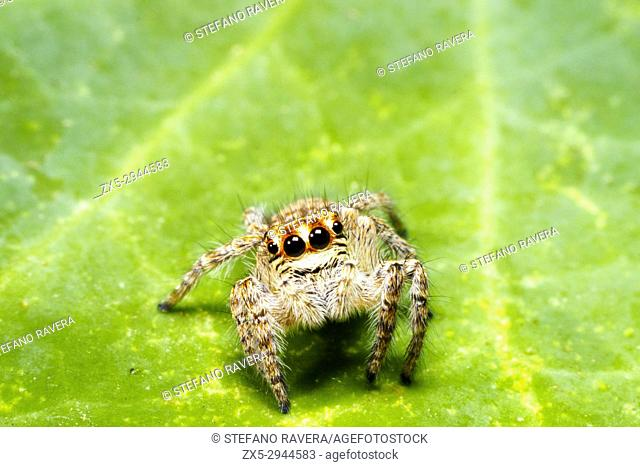 Jumpimg spider (Asianellus festivus) - Italy