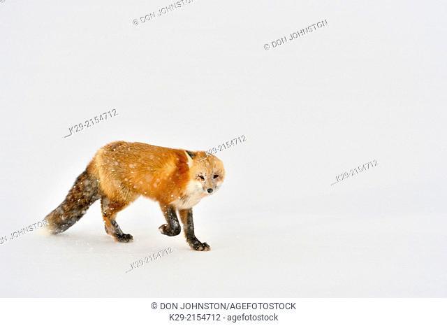 Red fox (Vulpes vulpes), approaching an Arctic Fox (Alopex lagopus) carcass it killed, Wapusk NP, Cape Churchill, Manitoba, Canada