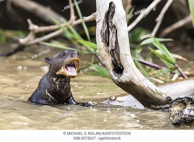 Juvenile giant river otter, Pteronura brasiliensis, near Puerto Jofre, Mato Grosso, Pantanal, Brazil