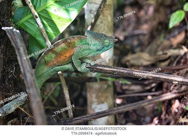 Parson's chameleon chasing a cricket (Calumma parsoni), Ranomafana, Madagascar