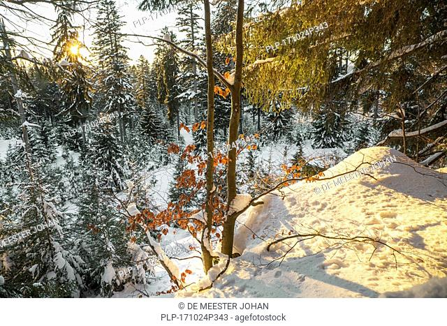 Beech tree leaves in autumn colours at sunset in mixed forest in the snow in winter