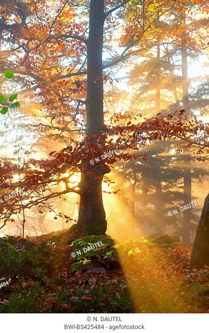 sun in autumn forest, Germany, Baden-Wuerttemberg