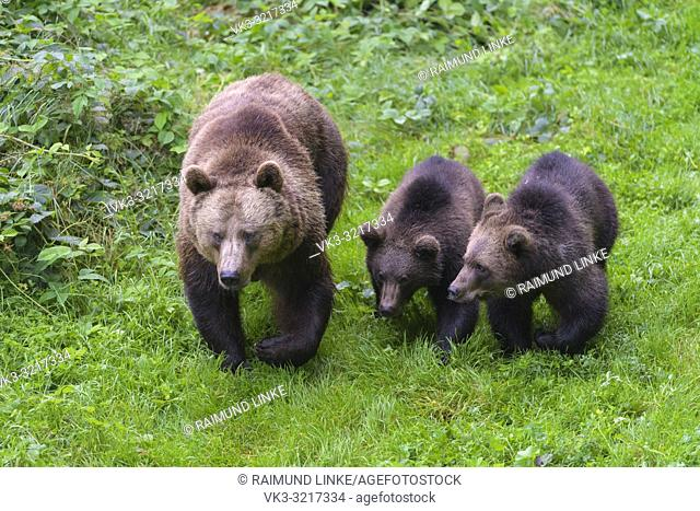 Brown bear, Ursus arctos, female with two cub, Germany